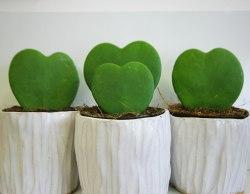 hoya-kerrii-heart-plant