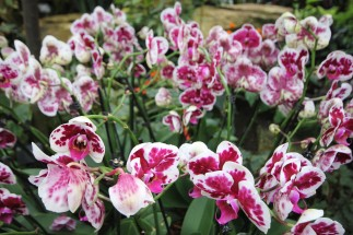 pink-spotted-orchid