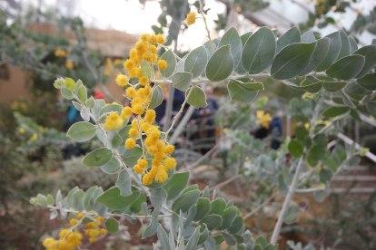 yellow-pom